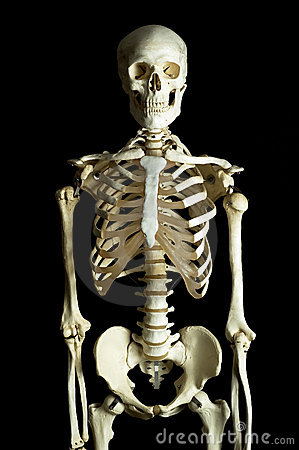 Free The Human Skeleton Royalty Free Stock Image - 81656