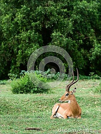 Free The Impala Has A Rest. Stock Photo - 16184180