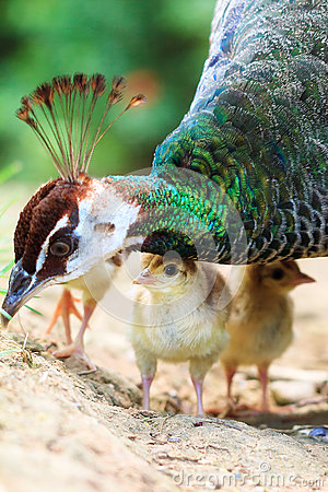 Free The Indian Peafowl Closeup Chick Royalty Free Stock Photo - 81101785