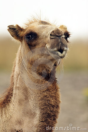 Free The Kissing Camel Closeup Royalty Free Stock Photo - 314635