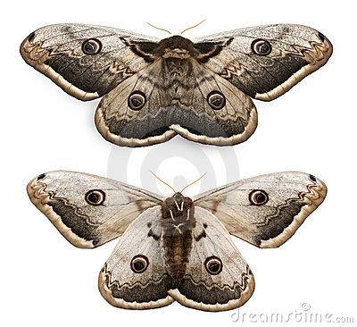 Free The Largest European Moth, The Giant Peacock Stock Images - 20376964