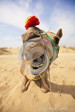 Free The Laughing Camel. Stock Image - 25105621