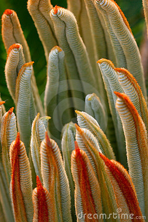 Free The Leaves Of Cycas Revoluta 2 Royalty Free Stock Photo - 5141665