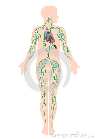 Free The Lymphatic System Royalty Free Stock Photography - 25867887