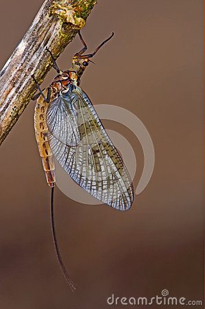 Free The Mayfly That May Fly Royalty Free Stock Images - 24668279