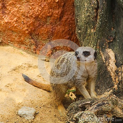 Free The Meerkat, Or Meerkat Lat. Suricata Suricatta Is A Species Of Mammals Royalty Free Stock Photos - 132568788