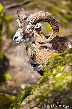 Free The Mouflon (Ovis Orientalis) Royalty Free Stock Photo - 40816055