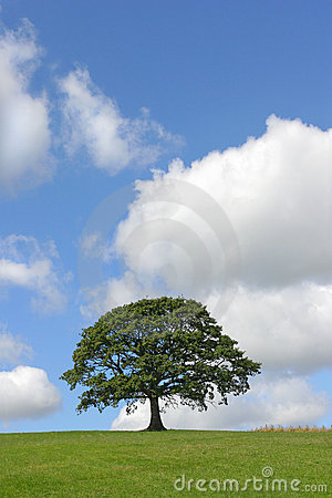 Free The Oak Tree In Summer Royalty Free Stock Photos - 2033768