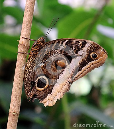 Free The Owl Butterfly In Costa Rica Mariposa Naranja Royalty Free Stock Photo - 106657375