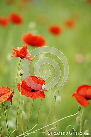 Free The Poppy Stock Photography - 8467572