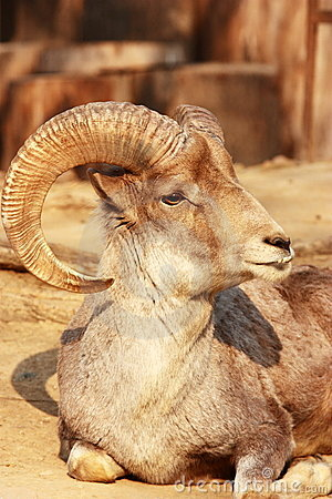 Free The Portrait Of A Goat With Big Horns Stock Photo - 19464940