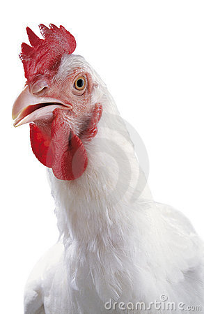 Free The Portrait Of A White Chicken Royalty Free Stock Photo - 14538325