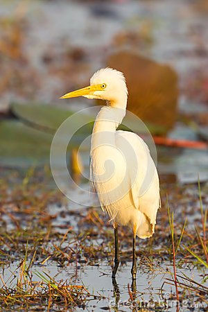 Free The Portrait Of Intermediate Egret Royalty Free Stock Images - 36930549
