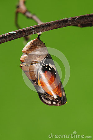 Free The Process Of Eclosion(1/13 ) The Butterfly Try To Drill Out Of Cocoon Shell, From Pupa Turn Into Butterfly Stock Images - 28617234