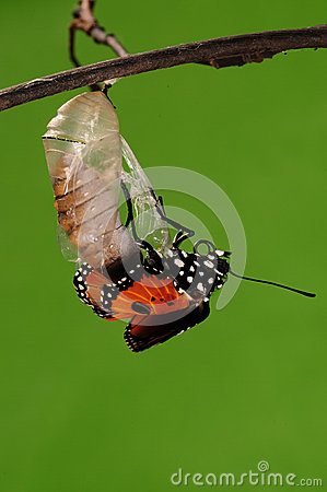 Free The Process Of Eclosion(6/13 ) The Butterfly Try To Drill Out Of Cocoon Shell, From Pupa Turn Into Butterfly Royalty Free Stock Photography - 28617427