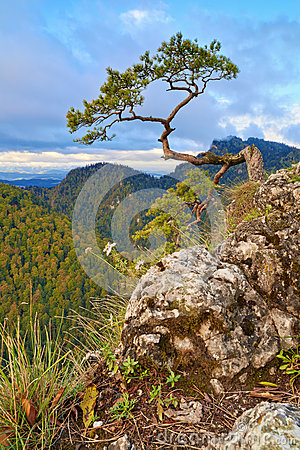 Free The Relic Pine At The Top Of Sokolica Mountain. Royalty Free Stock Photos - 36388888