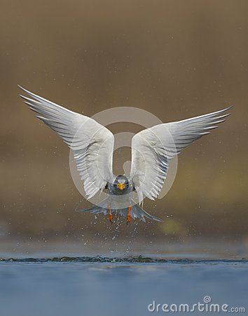Free The River Tern Stock Images - 110053664