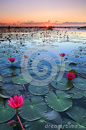 Free The Sea Of Red Lotus, Lake Nong Harn, Udon Thani, Thailand Royalty Free Stock Image - 77330516