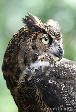 Free The Silent Hunter Great Owl Stock Photography - 12378352