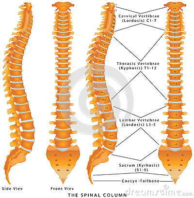 Free The Spinal Column Royalty Free Stock Photo - 44415885