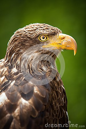 Free The Steppe Eagle (Aquila Nipalensis) - Portrait. Stock Image - 26260111
