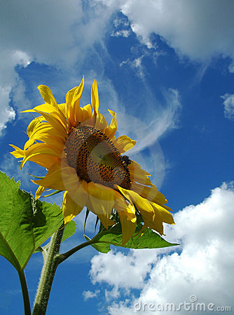Free The Sunflower. Royalty Free Stock Photos - 335318