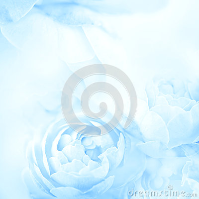 Free The Sweet Blue Rose Flowers For Love Romance Background Stock Photography - 67309482