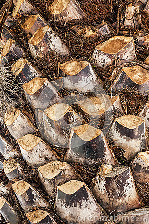 Free The Texture Of Palm Tree Bark Stock Photography - 43005802