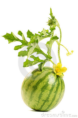 Free The Watermelon Royalty Free Stock Photos - 22169408