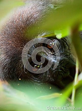Free The Western Lowland Gorilla Stock Photos - 37238263