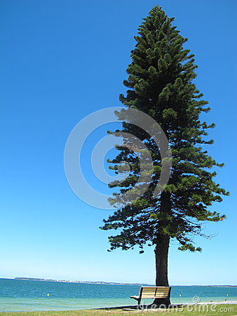 Free The White Chair Under The Big And Tall Pine Tree At Blue Sea Have Blue Background In Australia Stock Image - 84751131