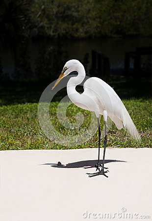 Free The White Egret On A Background Of Green Grass. White Crane Stock Image - 40816441