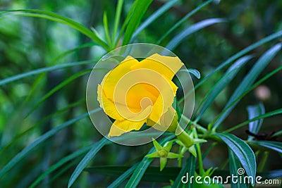 Thevetia peruviana or yellow oleander