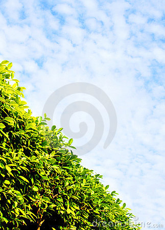 Thick green hedge & sky