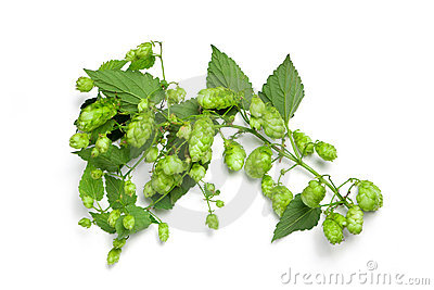 Thick hops branch