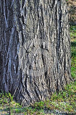 Thick tree bole