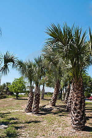 Thicket of Palm Trees