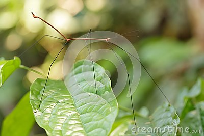 Thin stick insect