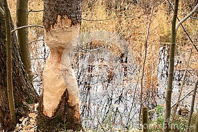 Thinged, bited tree by the beaver.