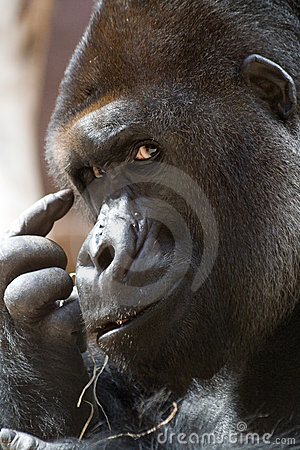Free Think (gorilla) Royalty Free Stock Photos - 2571238
