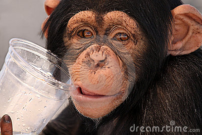 Thirsty Chimp