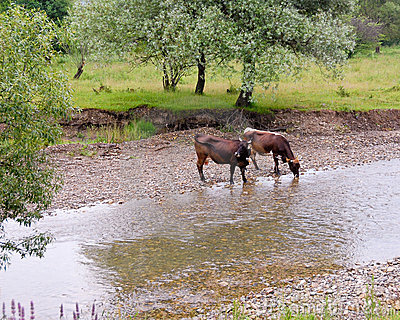 Thirsty cows in river