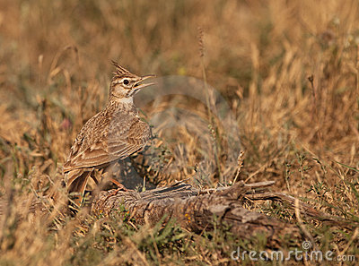 A thirsty Crested Lark