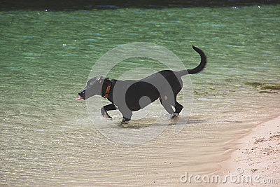 Thirsty dog in the ocean