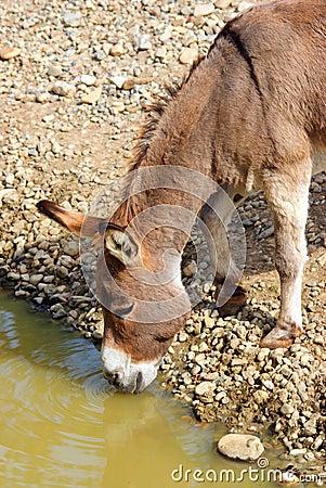 Thirsty donkey