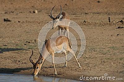 Thirsty Impala