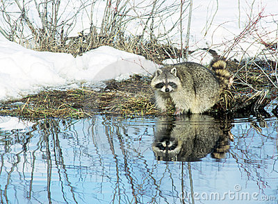 Thirsty Raccoon