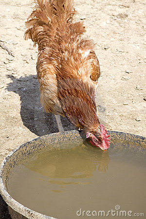 Thirsty Red Rooster