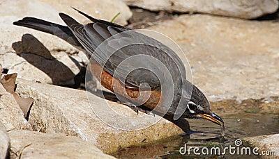 Thirsty Robin