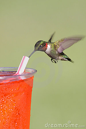 Thirsty Ruby-throated Hummingbird